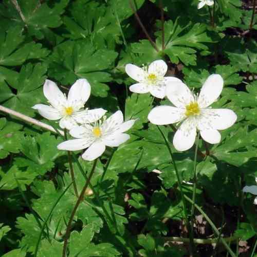 Anemone flaccida - Japanse bosanemoon