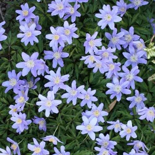 Anemone nemorosa Royal Blue