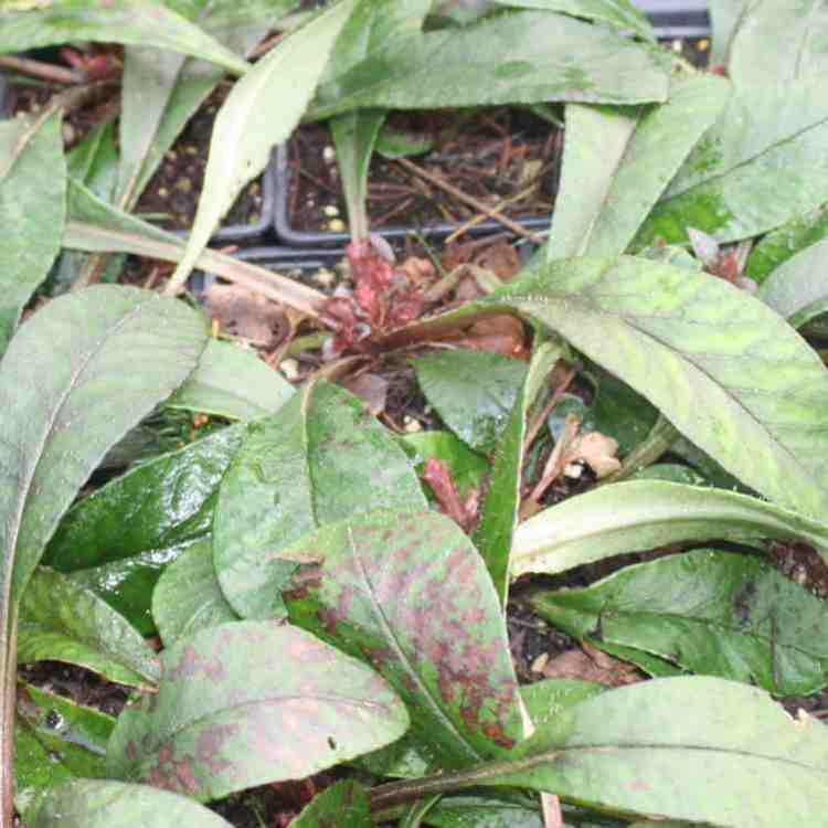 Chrysosplenium macrophyllum Green Form - Goudveil