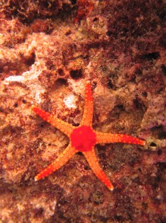 Starfish on the reef along the coast of Liquica, Timor-Leste (Photo: NOAA Fisheries/Kevin Lino).