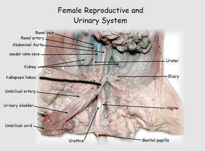 The Internal Anatomy  Fetal Pig Dissection (female)