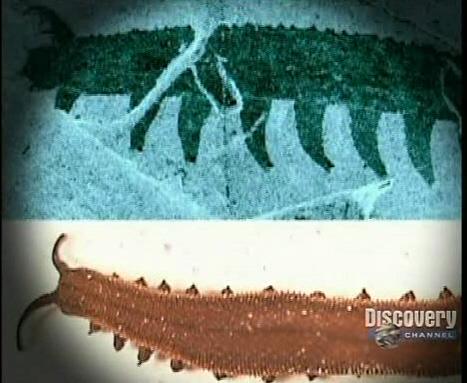 Onychophoran