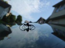 The Windshield Spider! Careful, you don't want to get too close. He is quite venomous!