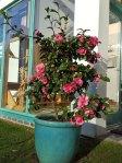 Camellia by front door