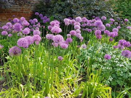 alliums-hampton-court(may17