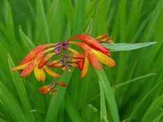 crocosmia-red(jul17)