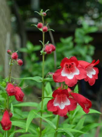 penstemon-red(jul17)