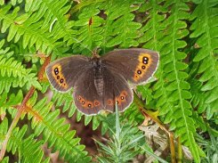 Brown Argus - never seen one of these before...