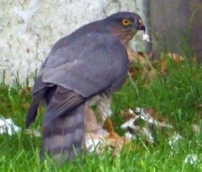 Val-sparrowhawk2(nov17)