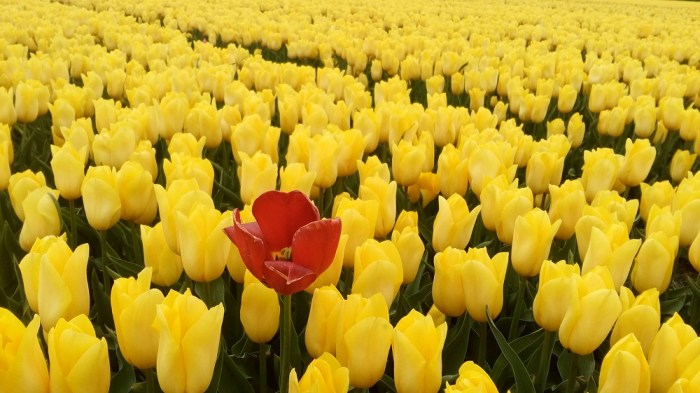 tulipanova10