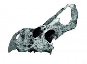 Esemplare di Protoceratops andrewsi conservato al Museo di Scienze Naturali di New York, American Museum of Natural History, il suo codice identificativo è AMNH 6425. In rosso sono indicati i landmark, in azzurro i semi-landmark