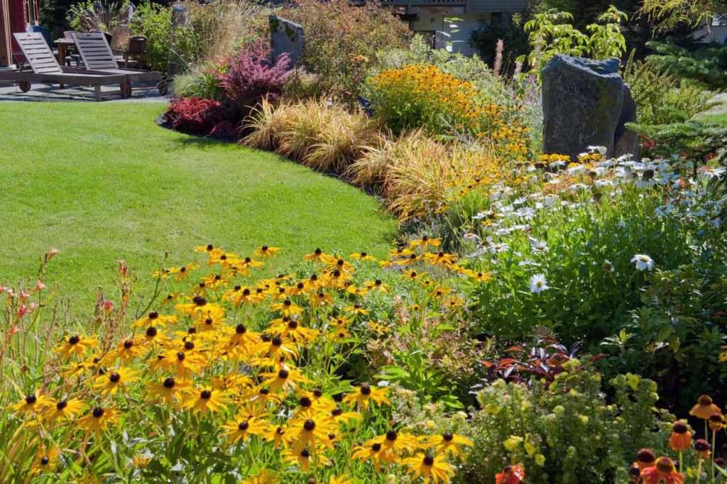 Backyard garden, rudebeckia