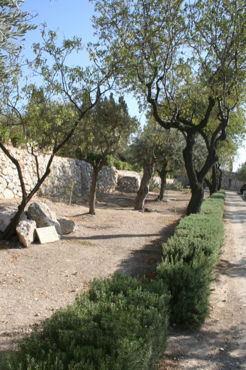 Walkway with olive trees