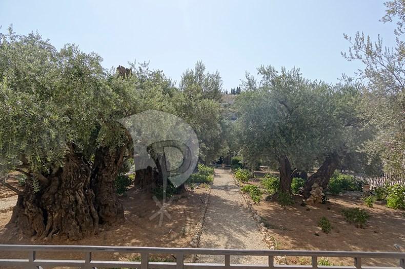 Olive Trees in the Garde of Gethsemane