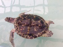 Baby Hawksbill Turtle at the Old Hegg Turtle Sanctuary in Bequia