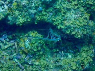 Spiny lobster, St. Lucia
