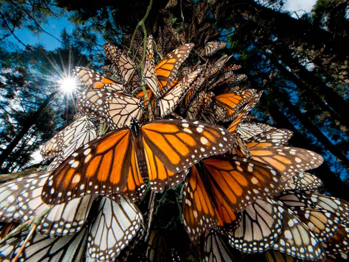 Arriban las primeras mariposas monarca a santuarios mexicanos