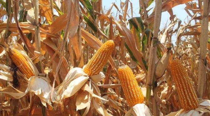 Necesarios modelos de negocios para rentabilidad del maíz