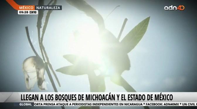El largo viaje de la Mariposa Monarca a México en temporada invernal