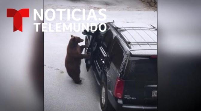 Como si fuera un conductor, este oso abrió la puerta de una camioneta