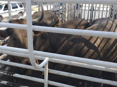 Aplicarán acciones para impulsar exportación de ganado desde Jalisco
