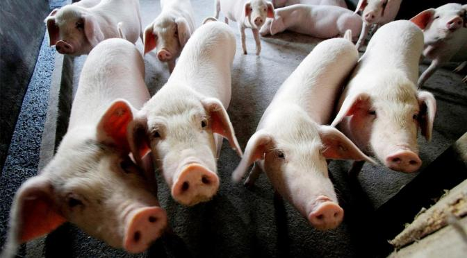 China dice que gripe porcina G4 no es nueva y no infecta a humanos fácilmente