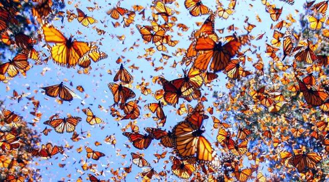 Población de la mariposa monarca disminuye 26%