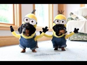 Teckels déguisés en Minions! – YouTube