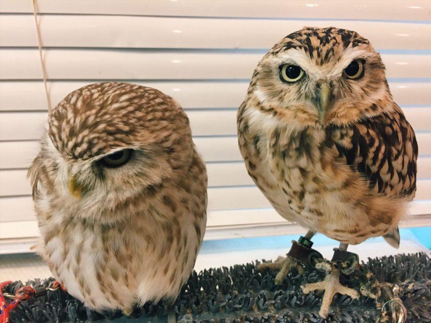 animal cafe owl cafe