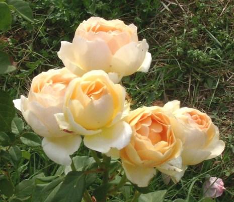 Memoria Narrante, rose, foto personale ©