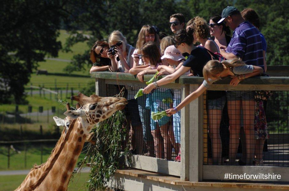 Kids feeding a giraffe in Longleat Safari Park.