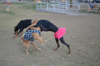 Two dogs in costumes playing. (Photo courtesy of Kyndall Holstead)