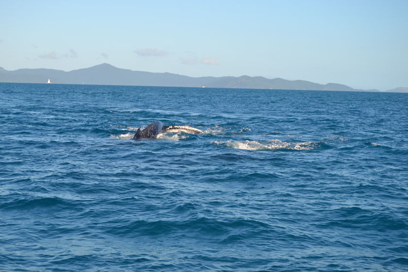 Ballena jorobada, Whitsunday Islands, Australia