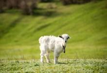 Photo of «Не вари козленка в молоке матери его» и законы разделения мясного и молочного