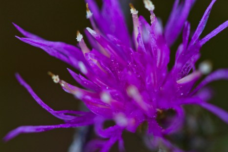 Close-up on the flower of the species Centaurea sp.