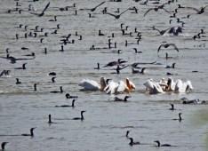 Dalmatian pelicans surrounded by cormorans By Dimitris
