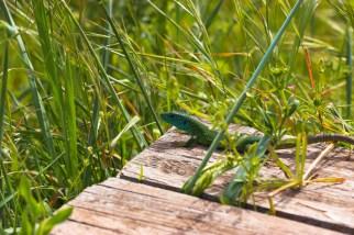 Lacerta viridis By Marianina
