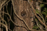 Fat-tailed dwarflemur