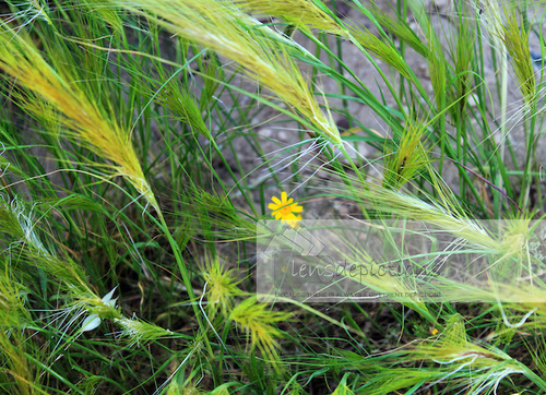 Abstract stock photo of of wild-grass and a yellow daisy flower in center.
