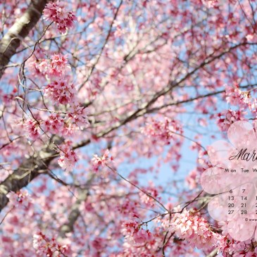 Know Cherry Blossoms better with these 5 little known facts! + Free HD wallpapers for March 2017!