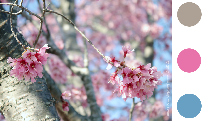 Cherryblossoms-lensdepictions