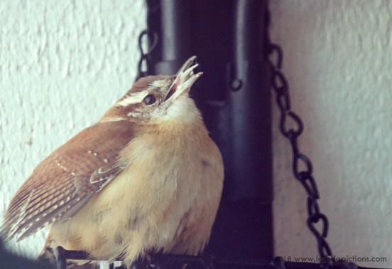 Carolina wren bird feeder