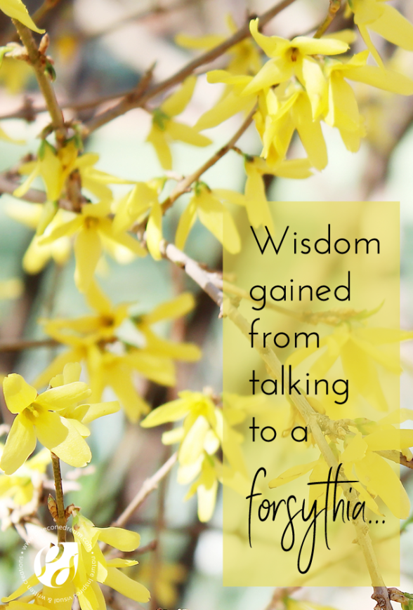 Forsythia-wisdom-pineconedream2