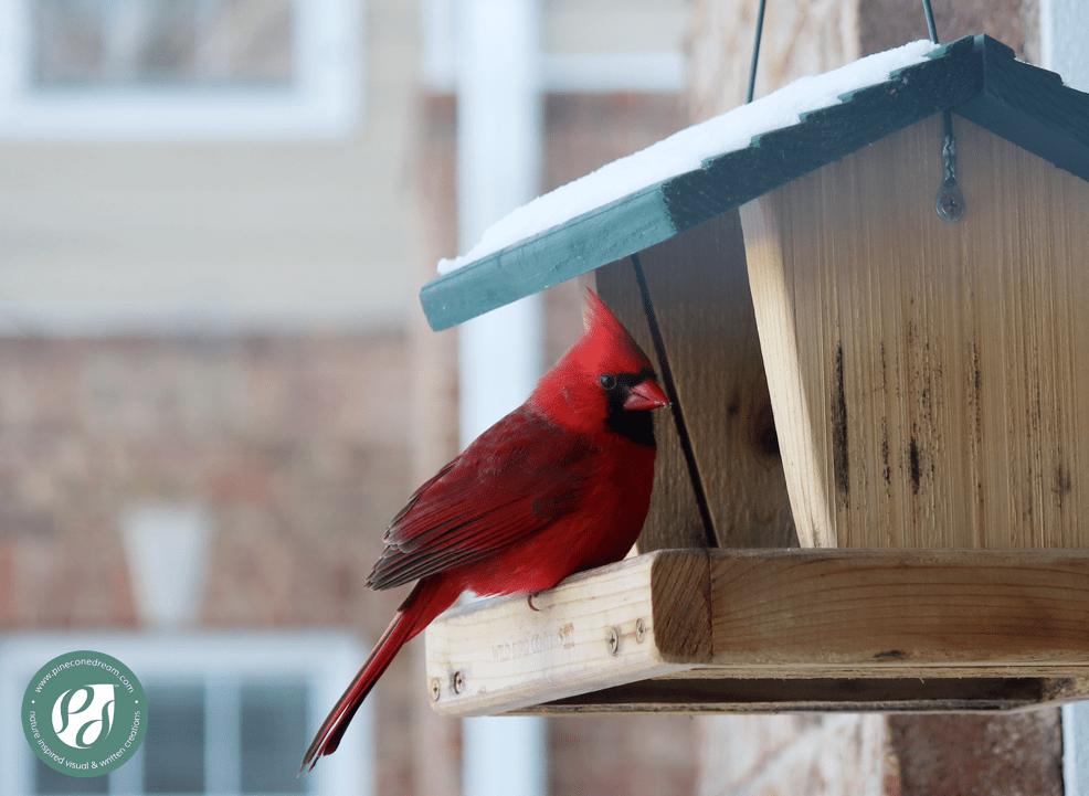 Cardinal_Pineconedream