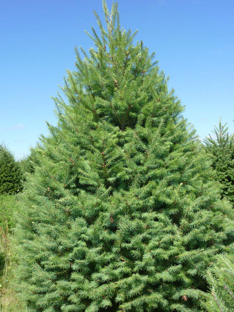 Most Popular Christmas Tree Types