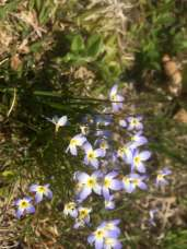 Bluets on Carriage Trail