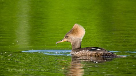 Hooded Merganser-Muddy Pond-Rutland-VT-20160604-34-2