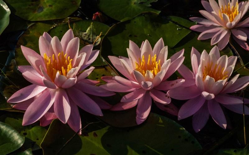 waterlilies-photos-0030