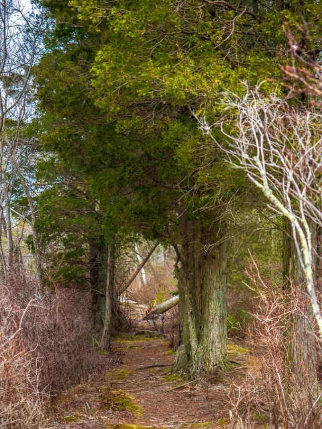 Majestic Cedar trees photo