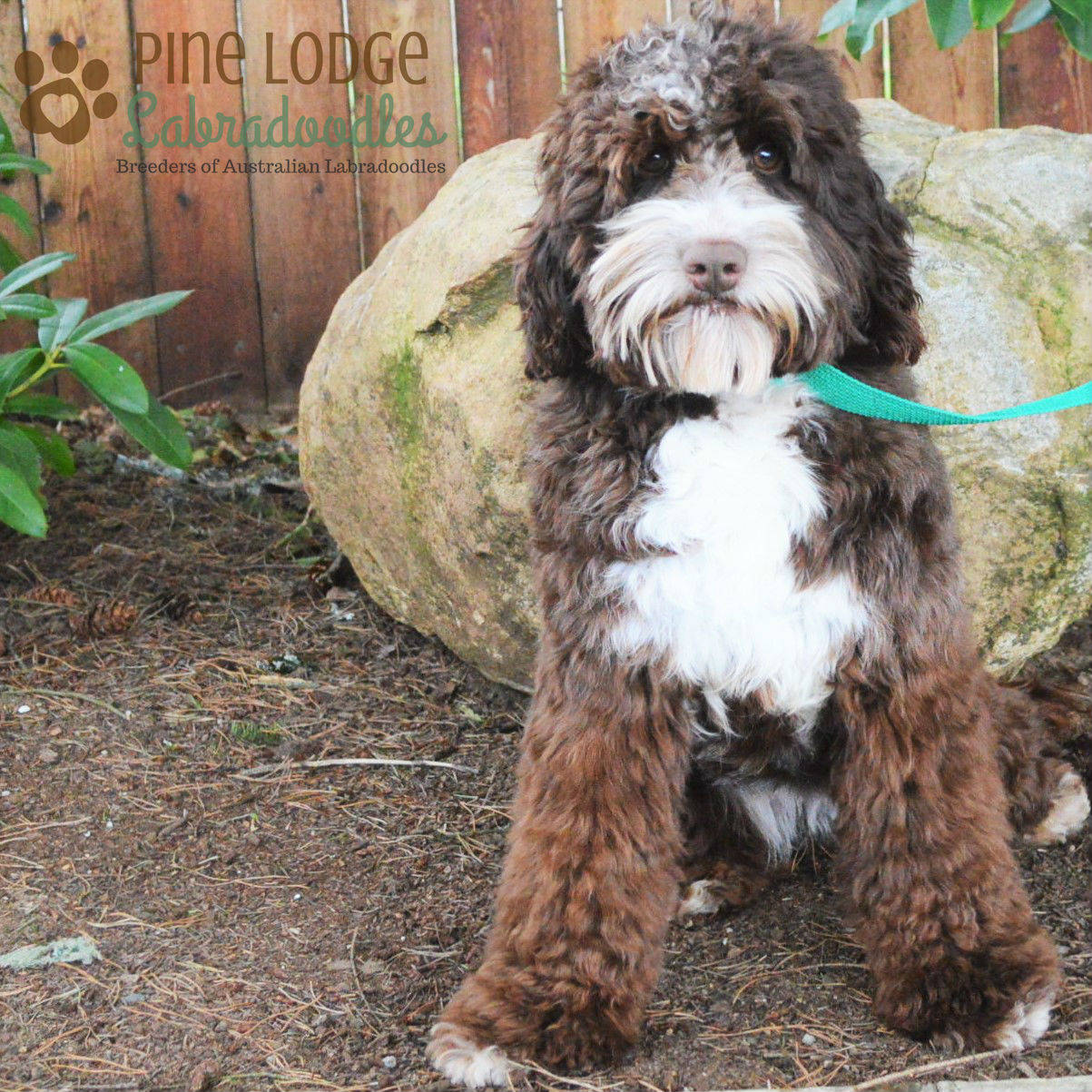 Our Gals – Pine Lodge Labradoodles